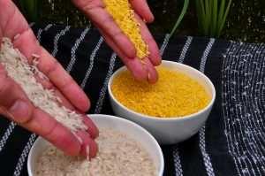 Golden Rice grain compared to white rice grain in screenhouse of Golden Rice plants.