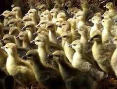 Sud-Ouest : nouveaux foyers de grippe aviaire