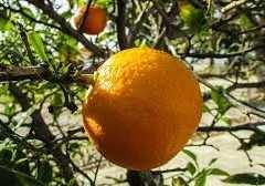 La vitamine C, une molécule au double visage