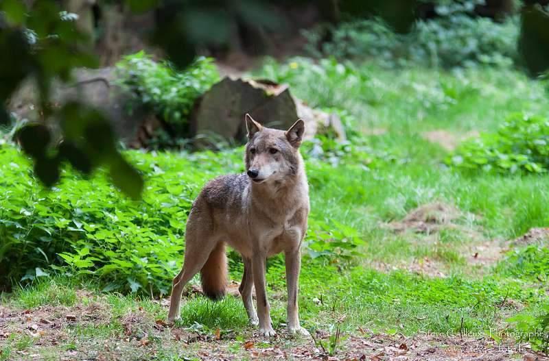 Aux racines de la peur du loup en France