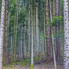 « Effet McDo », les forêts aussi