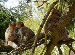 Comment les singes apprennent à se réconcilier