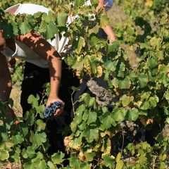Production mondiale de vins en 2016 estimée à 259 Miohl, en recul de 5% par rapport à 2015