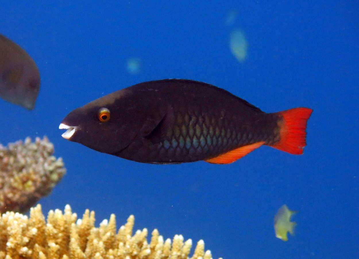 Chez certains poissons, les femelles ont un plus gros cerveau quand les mâles ont un gros… « gonopode »