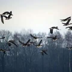 Grippe aviaire : apprendre des relations entre hommes et animaux