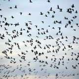 Grippe aviaire : quelles alternatives à l'abattage des animaux ?