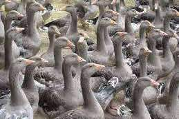 600.000 canards vont être abattus dans les Landes