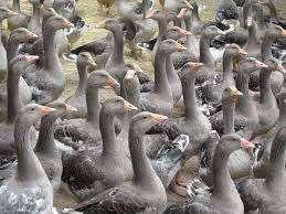 Les élevages du sud-ouest menacés par le virus H5N8