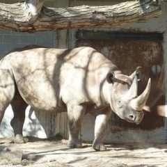 Cornes de rhinocéros : pourquoi le trafic a explosé