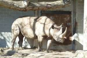 les rhinocéros en voie d'extinction