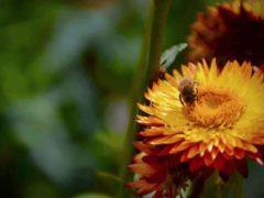 Les abeilles sauvages et domestiques pollinisent un tiers des plantes que nous consommons. Simon Klein, CC BY-NC-ND