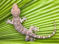 En Australie, des études ont montré que le gecko posséderait au moins dix espèces « cryptiques ». www.shutterstock.com