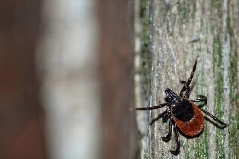 Tique femelle du genre Ixodes, en France. Alexandre Roux/Flickr, CC BY-NC-SA