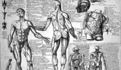 Croquis anatomiques des muscles du corps humain, réalisés par le médecin espagnol Juan Valverde de Amusco (début du XVIIᵉ siècle). Juan Valverde de Amusco/Wellcome, CC BY