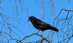 Chasse au corbeau au-dessus de la Vologne (Pixabay)