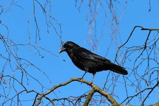 Trente ans de chasse au corbeau au-dessus de la Vologne