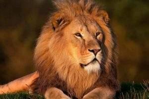 Une crinière de lion (pixabay)