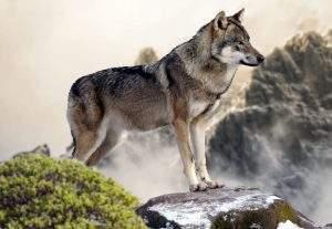 Un loup dans la bergerie (pixabay.com)