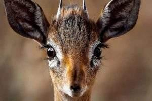 Des yeux de biche (Pixabay)