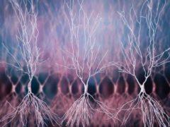 Neurones de l'hippocampe. Shutterstock