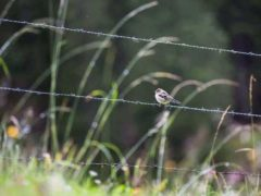 Les oiseaux communs des milieux agricoles ont perdu plus de 30 % de leurs effectifs ces vingt dernières années. Nicola Tröhler/Unsplash