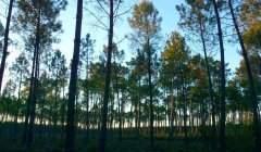 Des centaines d'arbres de la même essence, bien alignés, plus faciles à récolter