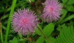 Plante « mimosa pudica ». Alex Popovkin/Flickr, CC BY