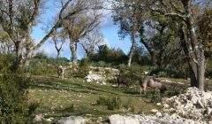 Cochons en semi‐liberté dans un milieu ouvert, auparavant impénétrable. On aperçoit les nouvelles pousses de buis dès la 1ère année.