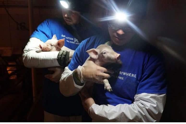 Intervention de militants de la cause animale dans les élevages (ici, aux États-Unis, photo DxE)