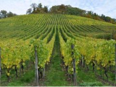 vignoble (creative commons)