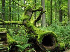 La forêt de Bialowieza, en Pologne, est l'une des plus anciennes d'Europe. Wikimedia, CC BY-SA