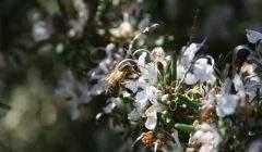 Face au changement climatique, l'odeur du romarin se modifie, ce qui affecte la quantité et la qualité du romarin.Grégoire Lannoy, CC BY-NC-ND