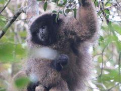 Un singe titi dans son arbre.Geoffrey Mesbahi, Author provided