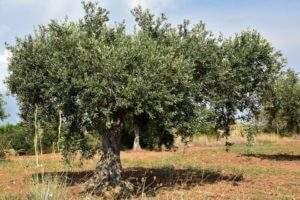 Le verger français permet de produite entre 5 et 6.000 tonnes d'huile d'olive par an (photo Pixabay)