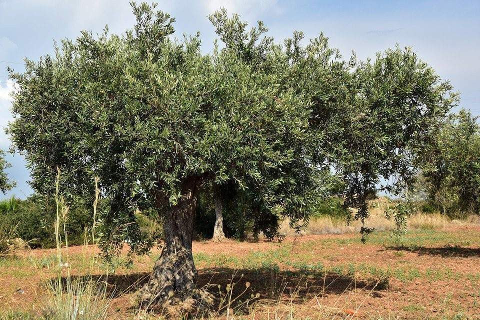 L'huile d'olive objet de tous les trafics