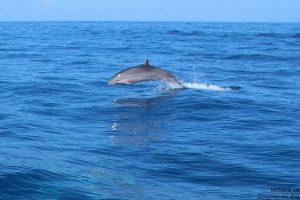 dauphins (credit grainesdepassions on Visualhunt.com CC BY-NC-SA