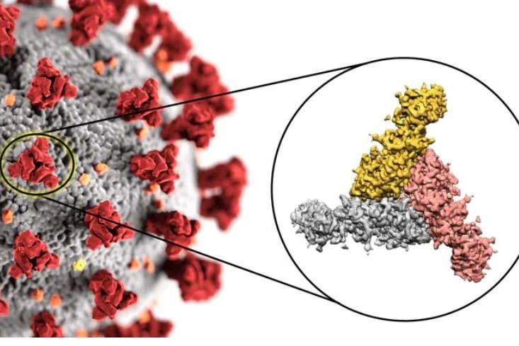 le coronavirus au microscope