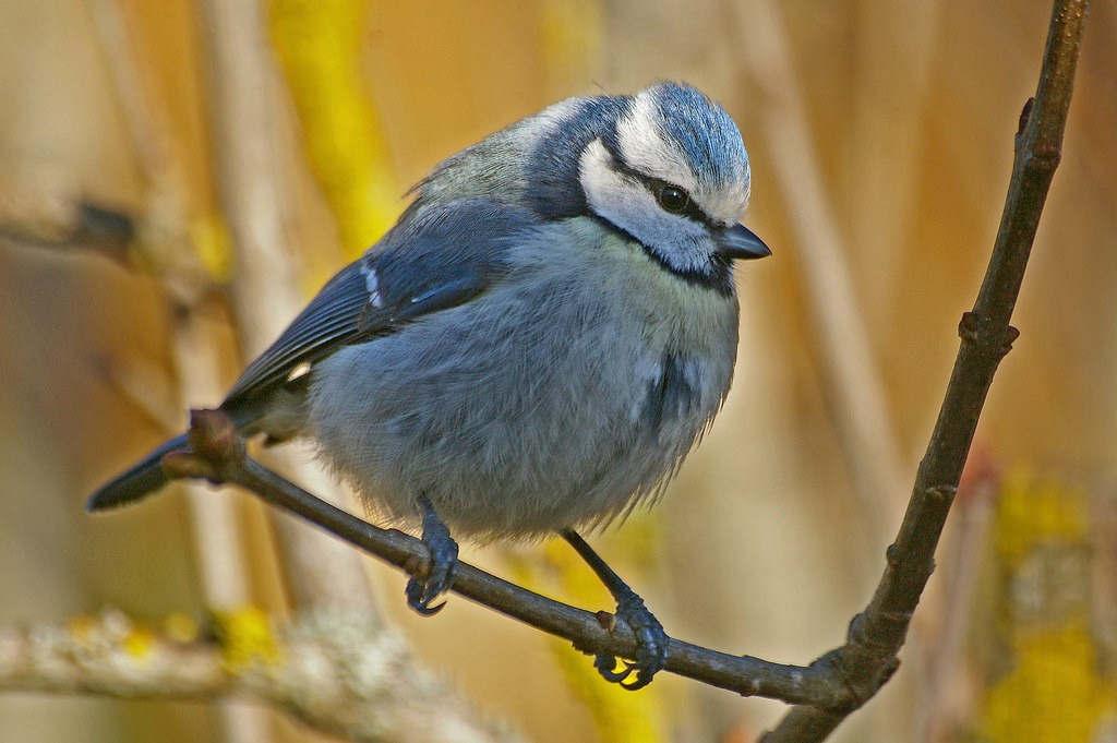 Oiseau de jardin (Flickr)