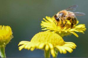 Abeille pollinisation