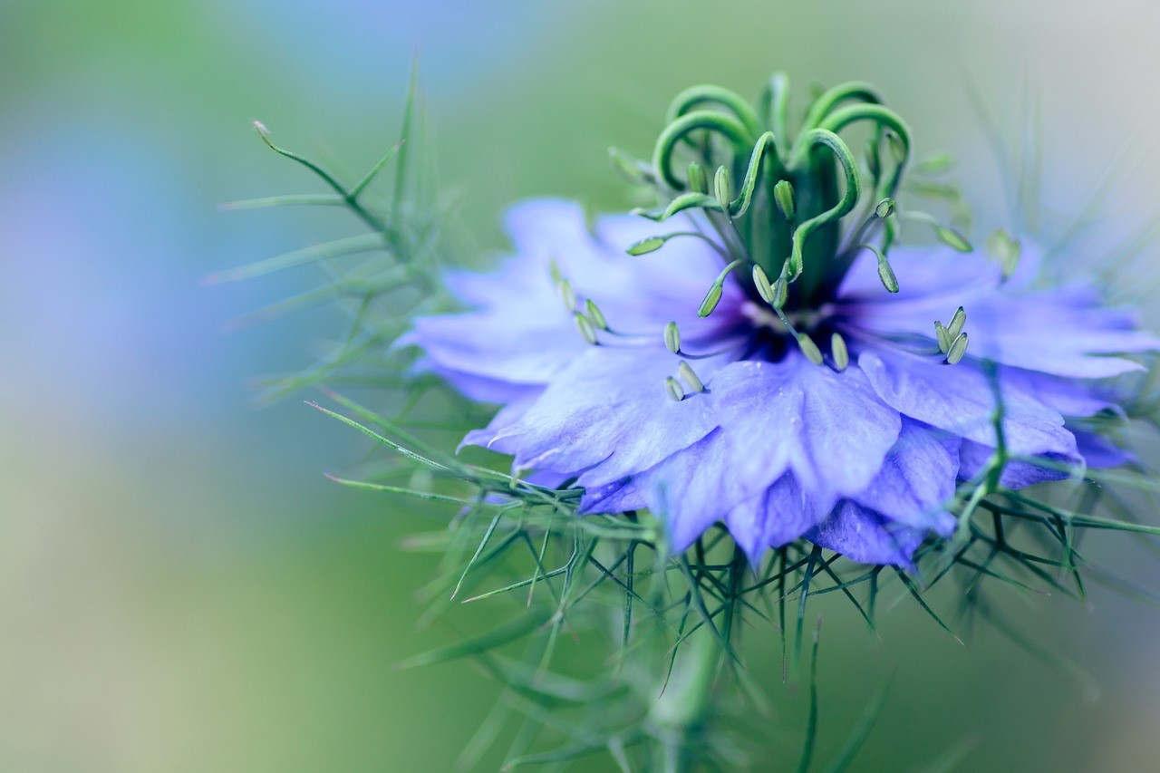 La nigelle cultivée ou cumin noir (Pixabay)
