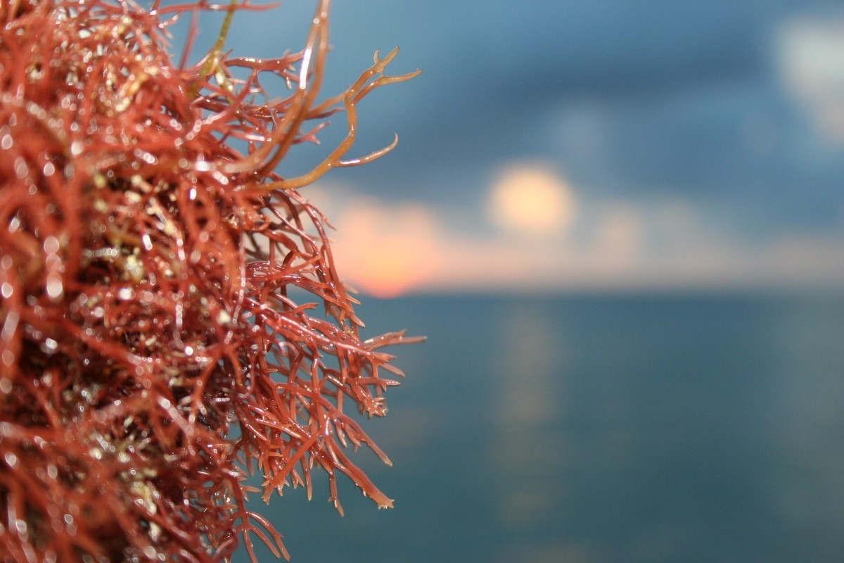 La molécule candidate est un polysaccharide sulfaté trouvé dans certaines espèces d'algues rouges (Photo CCO Public Domain)