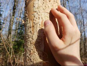 Dans la forêt de Villiers-les-Nancy, un épicéa dépérissant. Marielle Brunette, CC BY-NC-SA