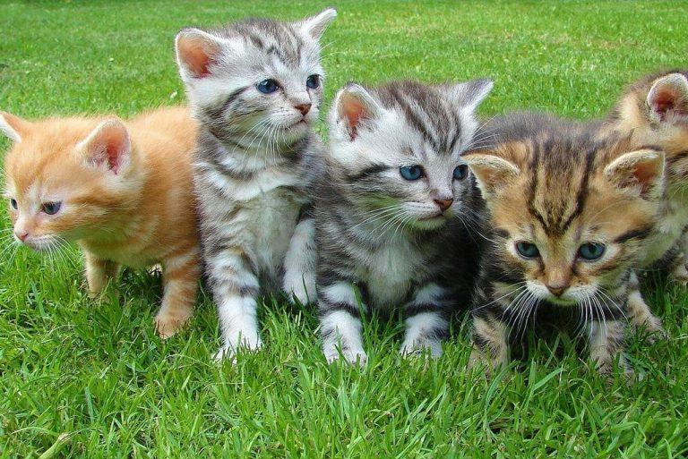 chatons (Pixabay)