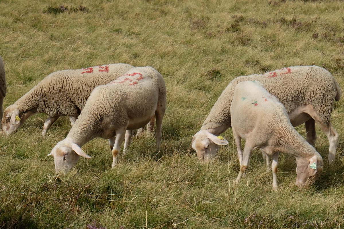 Moutons (rue des boulets)